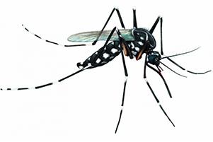 Aedes Aegypti ( Mosquito da Dengue )